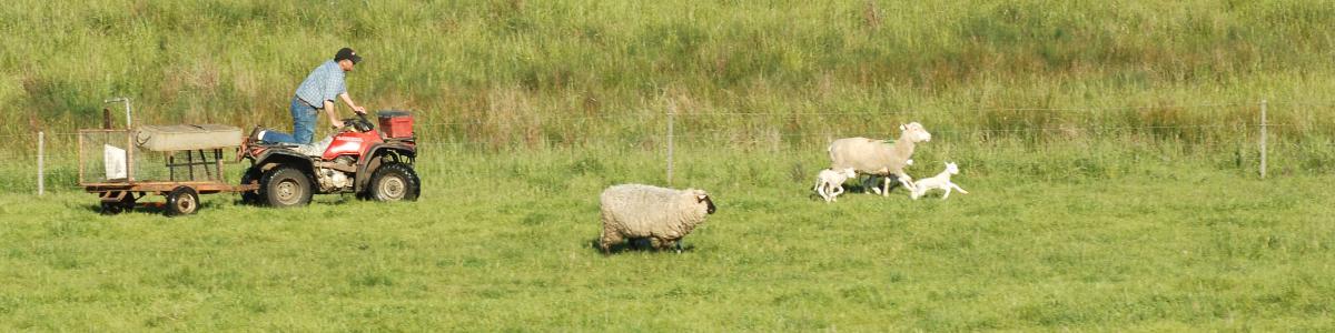 osu sheep center